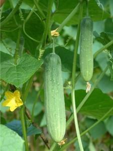 Cucumber_Khiaudon_B.86164456