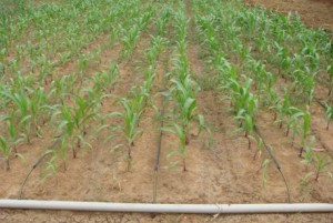 agri_irrigationmgt_rice - Copy (6)_clip_image002