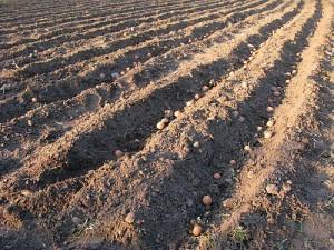 planting_potatoes