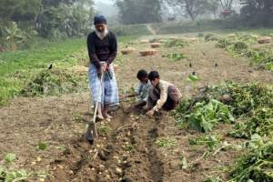 potato-harvesting