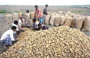 potato-harvesting2