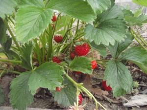 strawberry-007