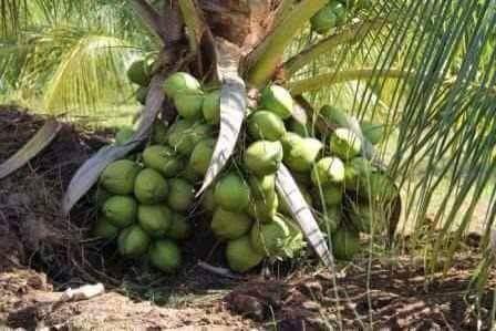 txd-hybrid-coconut-plant-seeding-500x500